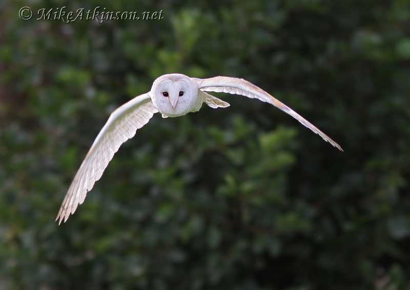 Barn Owl (captive bird)