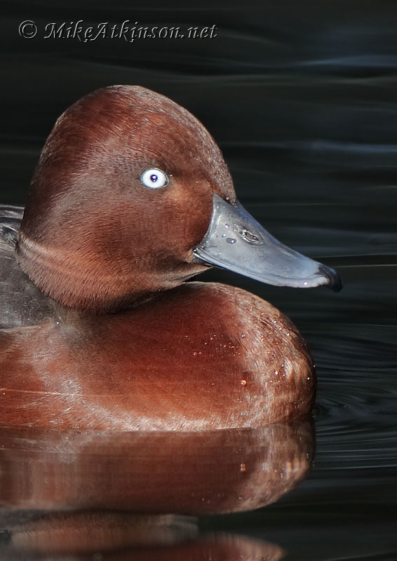 Ferruginous Duck (captive bird)
