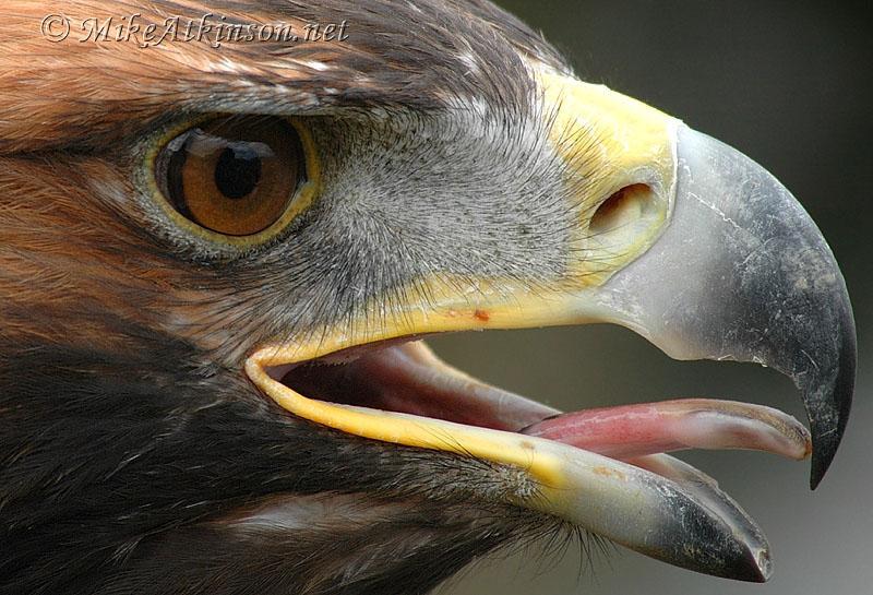 golden eagle pictures. Golden Eagle (captive bird)