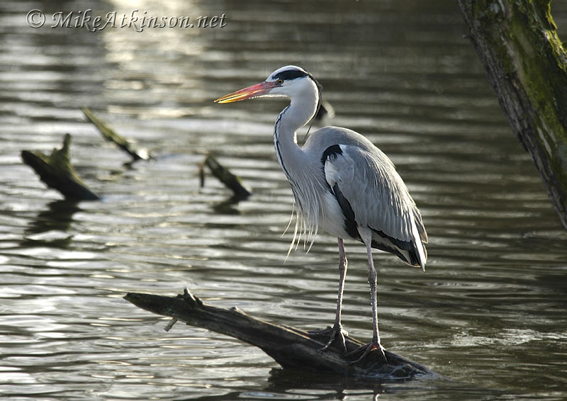 Grey Heron (captive bird)