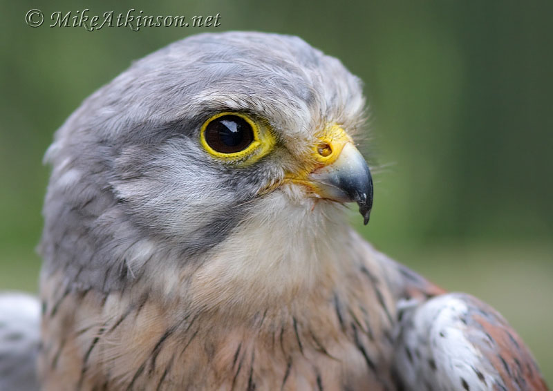Kestrel (captive bird)