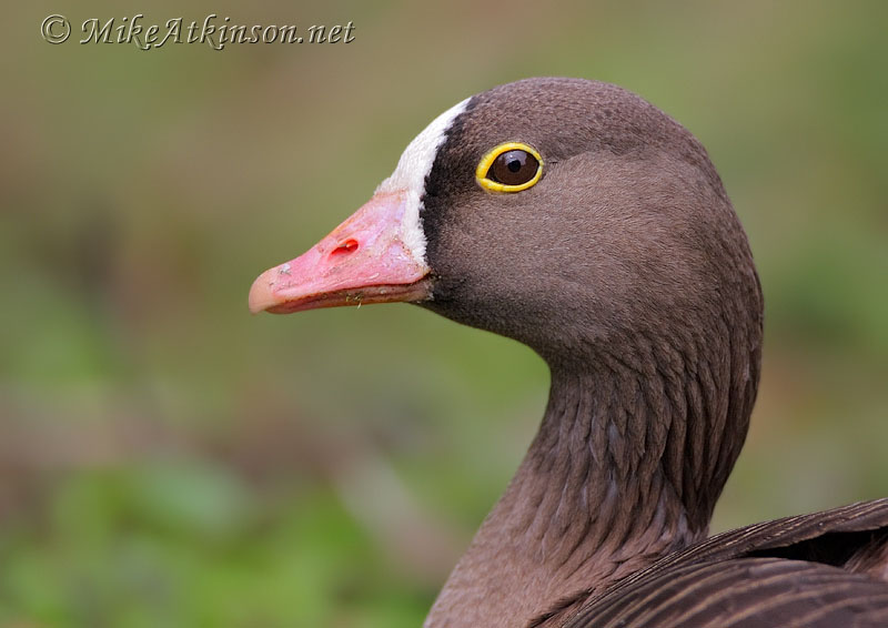 Lesser White-fronted Goose (captive bird)