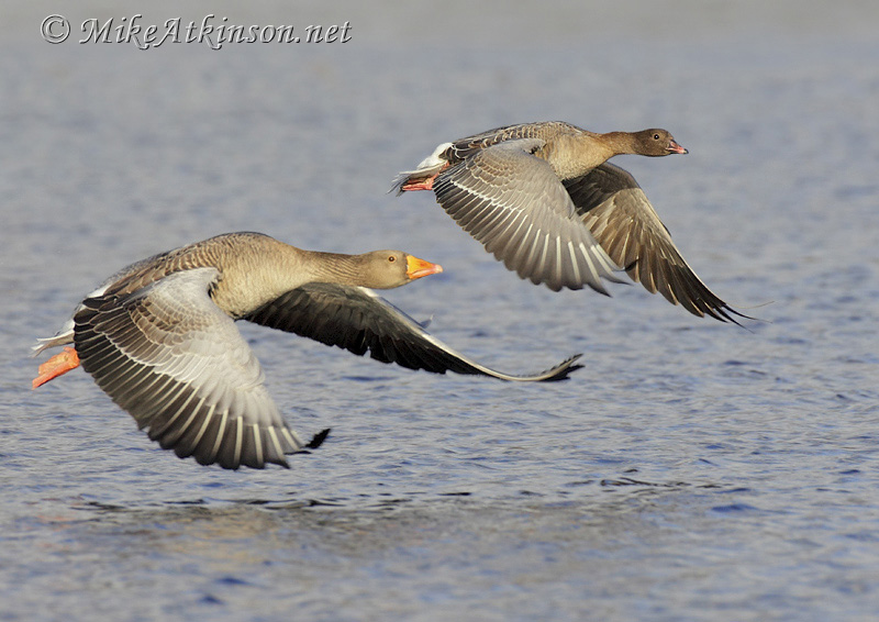 Pink-footed Goose (with Greylag)