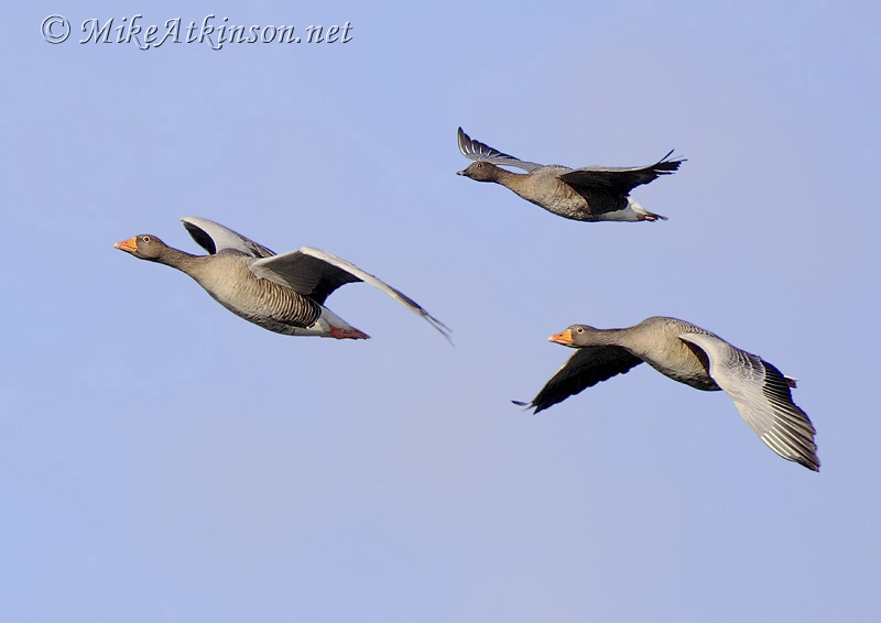 Pink-footed Goose (with Greylags)