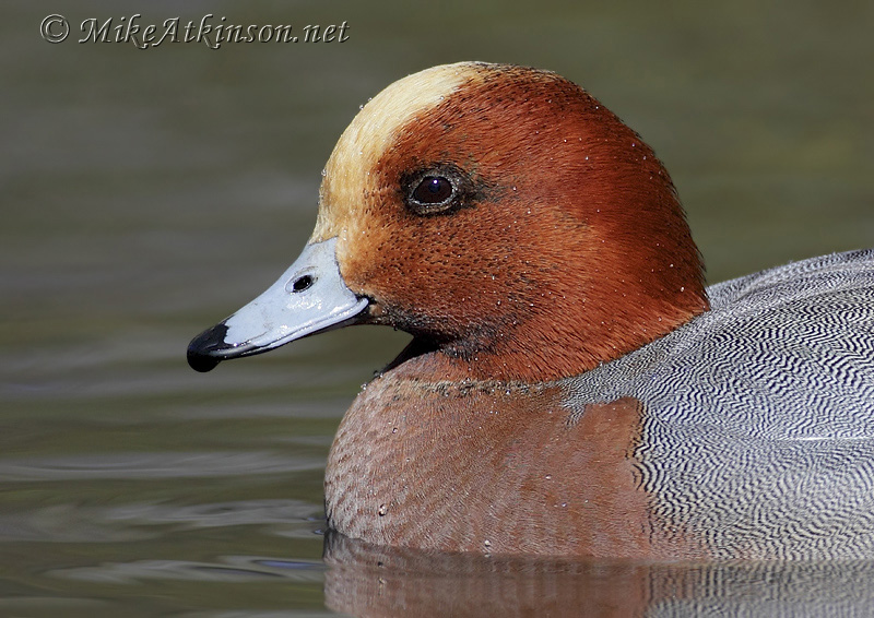 Wigeon (captive bird)